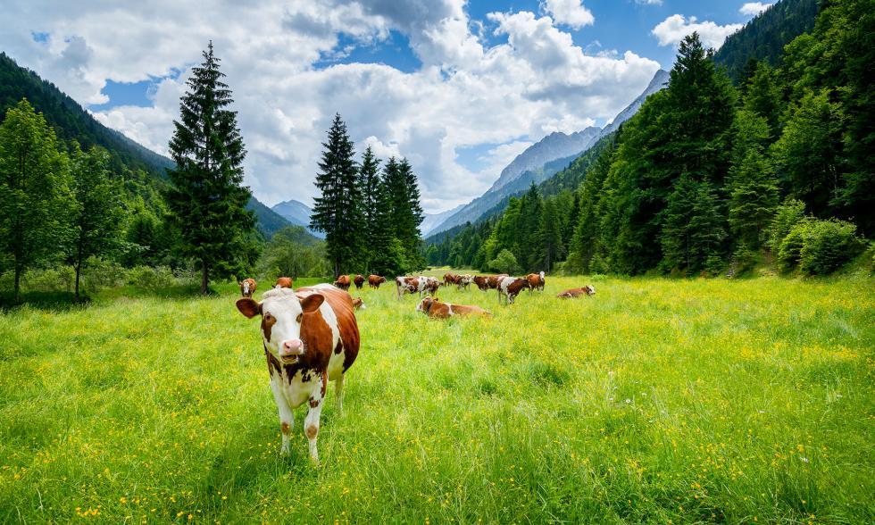 Mehrere Kühe grasen auf einer Weide im Gebirge, von denen eine stark im Vordergrund steht und auf die Kamera schaut.