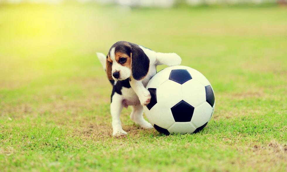 Kleiner Hund mit Fußball